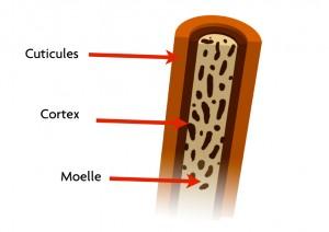 structure cheveu - Coloration D Oxydation